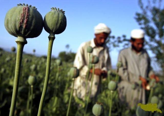 بر مبنای گزارش اداره مبارزه با مواد مخدر سازمان ملل متحد:  افغانستان همچنان کانون مواد مخدر در جهان